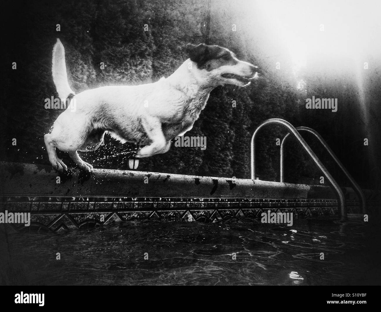 Wet dog jumping into a swimming pool. In black and white. - Stock Image
