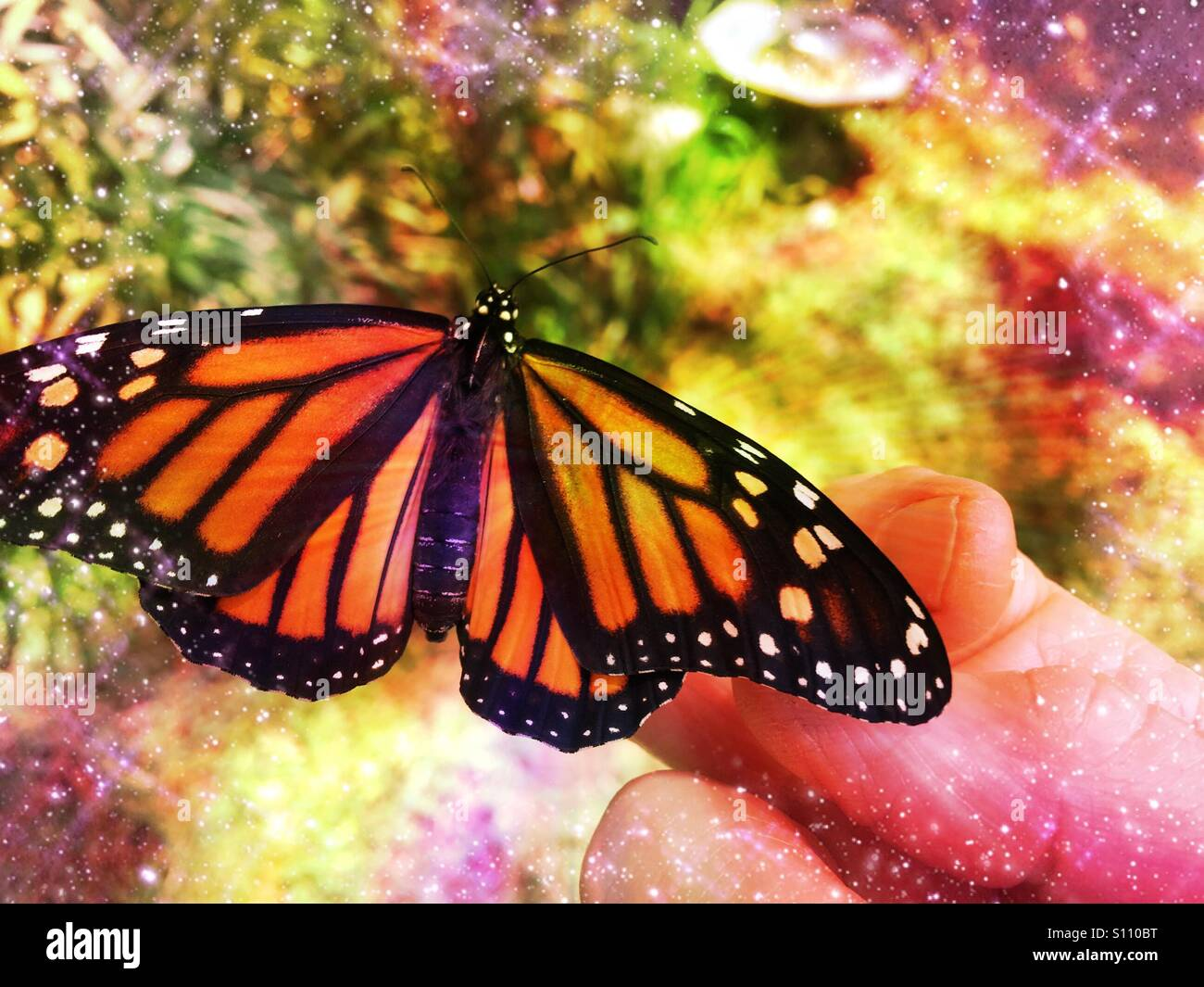 Newly emerged female monarch butterfly on a woman's hand, Ponte Vedra Beach, Florida, USA. Stock Photo