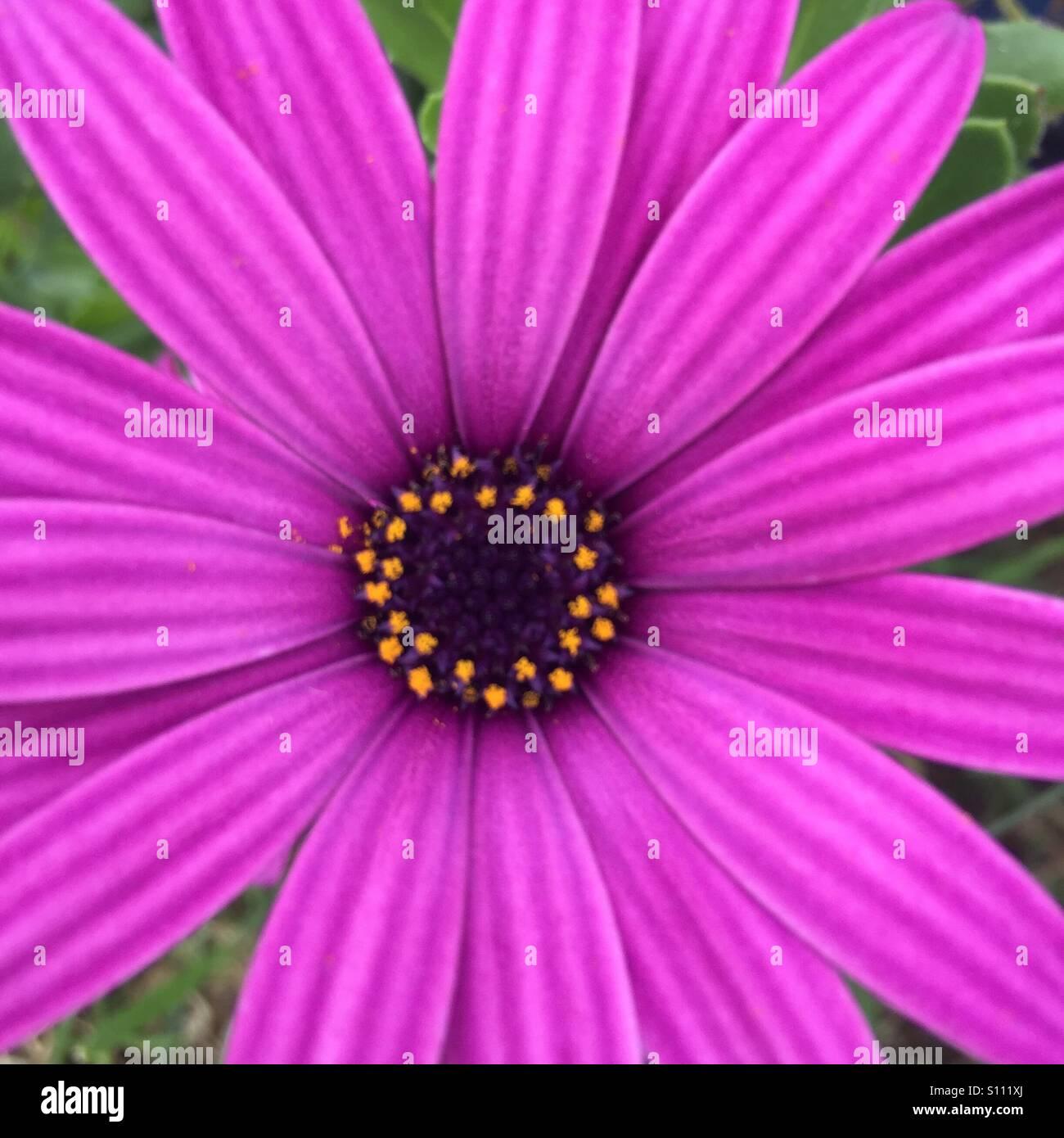 Summer magenta Senetti flower. - Stock Image