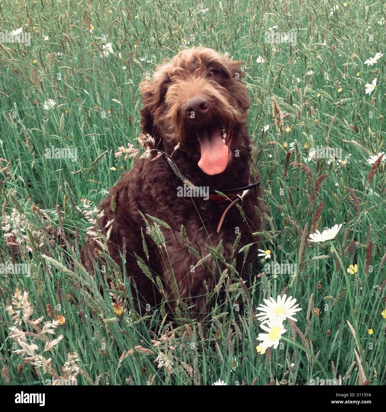 Chocolate Brown Labradoodle Dog Stock Photos Amp Chocolate