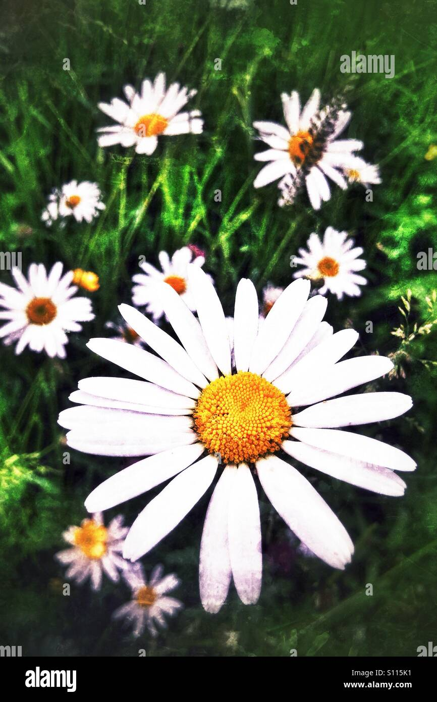 High contrast oxeye daisy - Stock Image