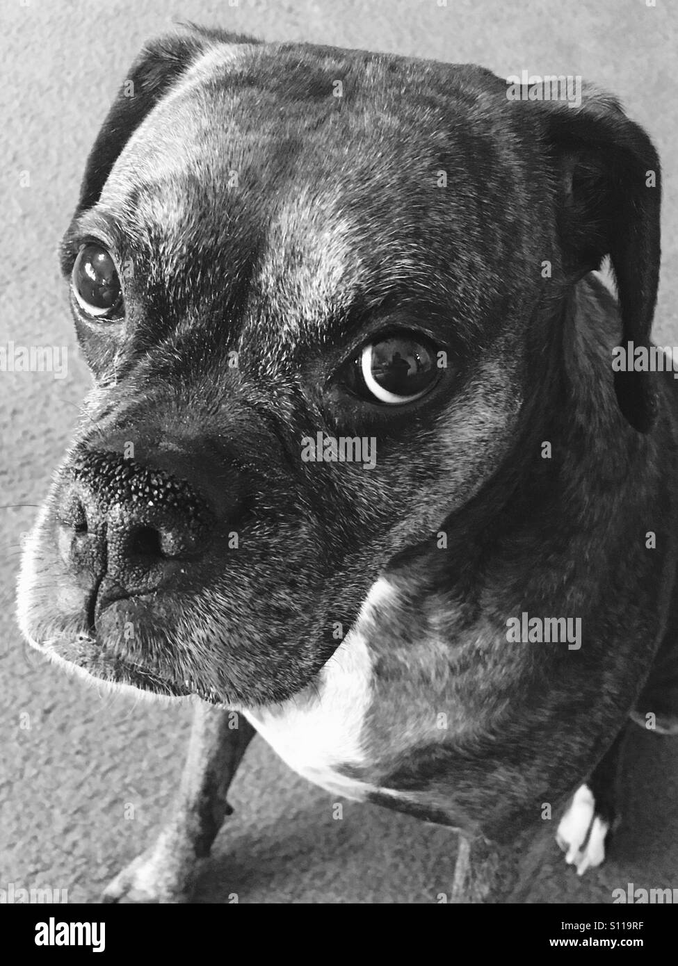Beautiful black and white Boxer. - Stock Image