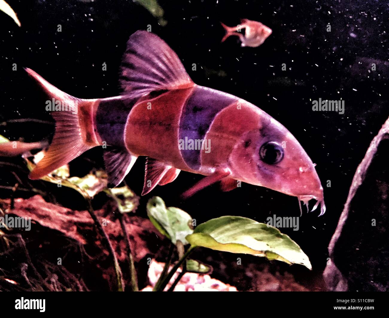 Clown Loach Stock Photos & Clown Loach Stock Images - Alamy