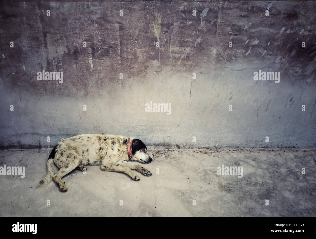 stray dog sleeping near the old wall in Peru - Stock Image