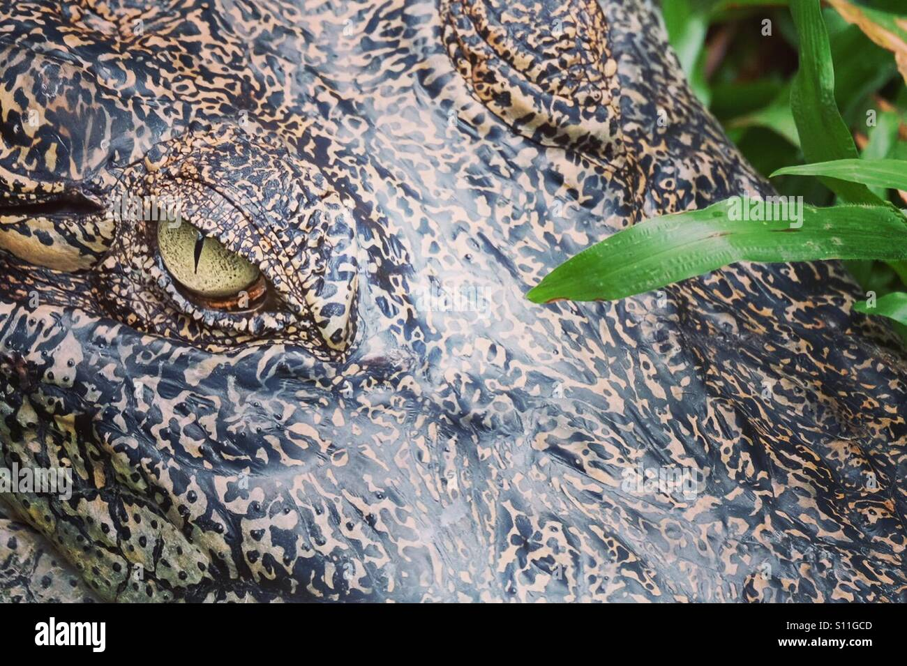 Close up of crododile eye, looking menacing. - Stock Image