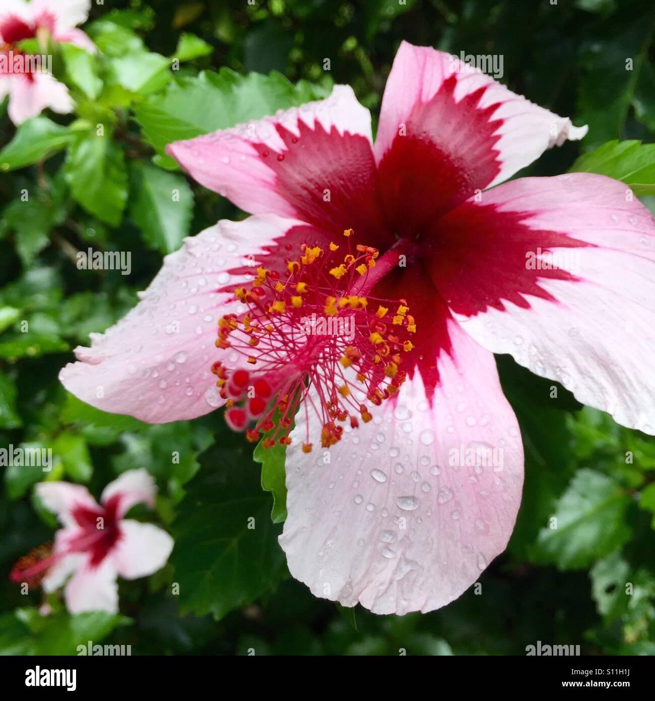 Hawaii kauai hibiscus flower stock photos hawaii kauai hibiscus hibiscus stock image izmirmasajfo