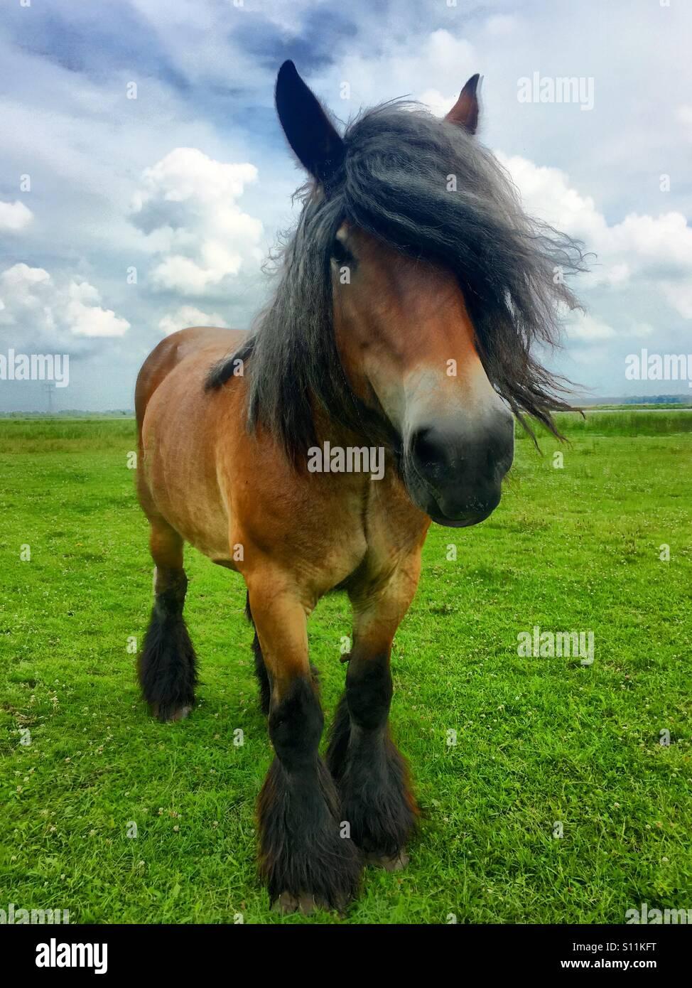 Belgian draft horse against a dark blue sky - Stock Image