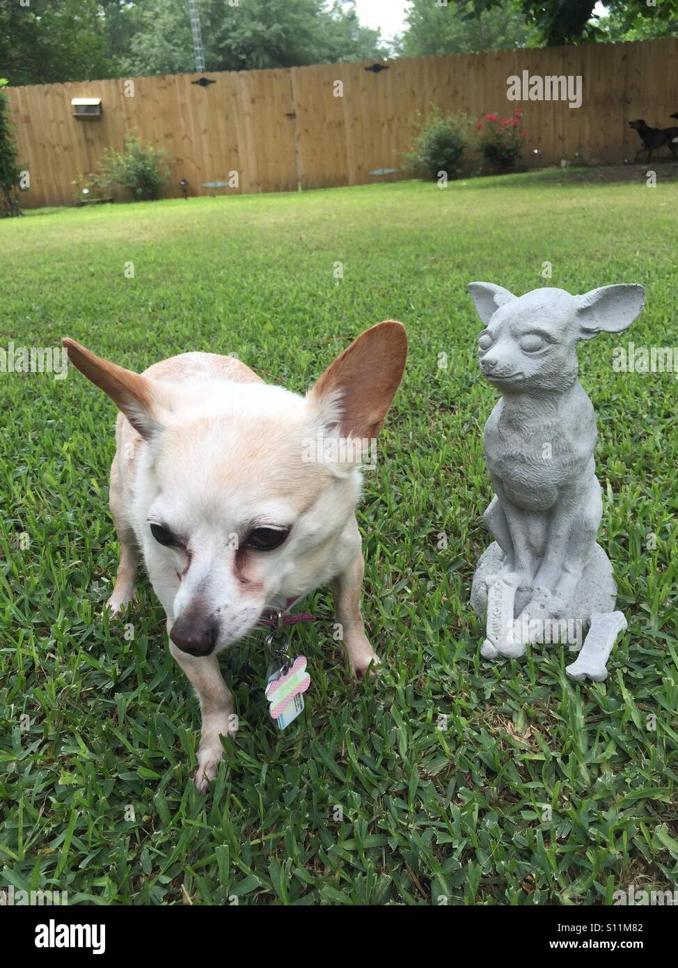Delicieux Chihuahua Not To Sure About The Concrete Chihuahua Garden Statue In Her  Honor.   Stock