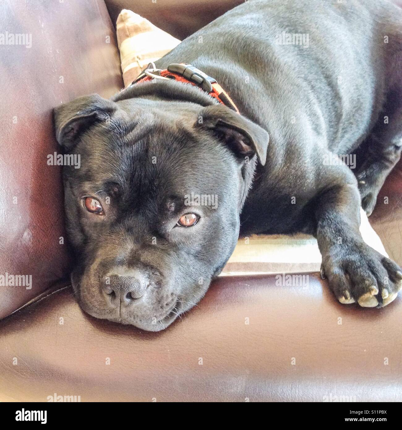 Staffordshire Bull Terrier dog with his head over the arm of a sofa chair looking soulfully at the camera because - Stock Image
