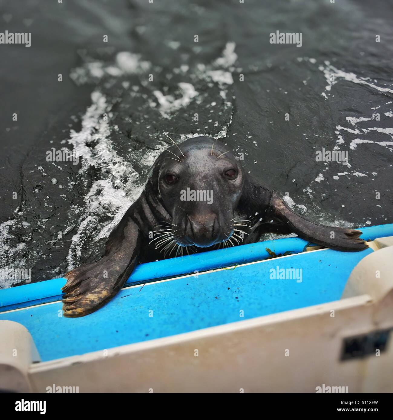 Grey seal stares into the camera as it attempts to board a boat in the water where Loch Long meets Loch Goil in Stock Photo