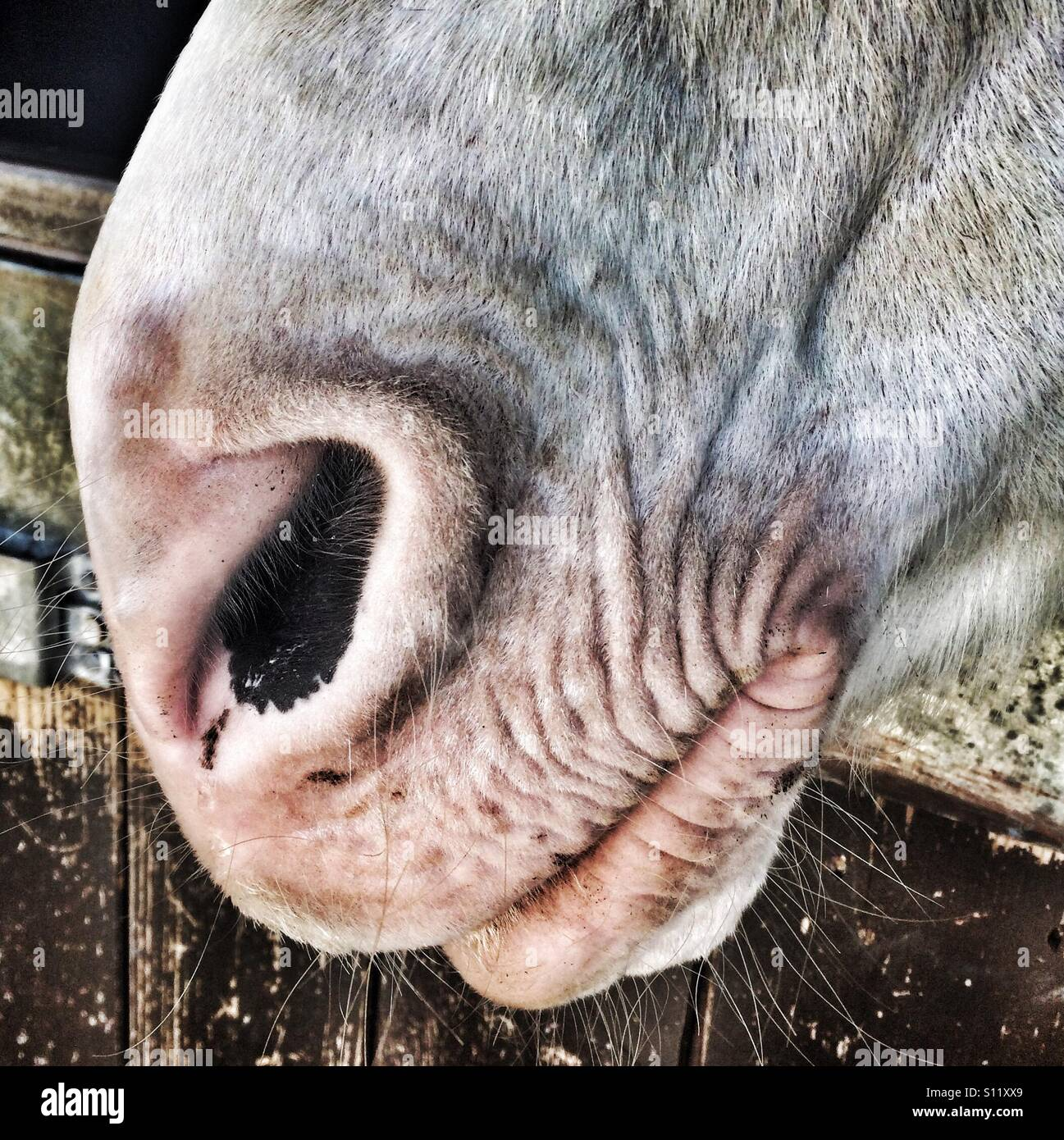 A close up of a horses mouth - Stock Image