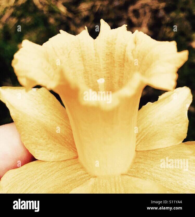 Daffodil edited - Stock Image