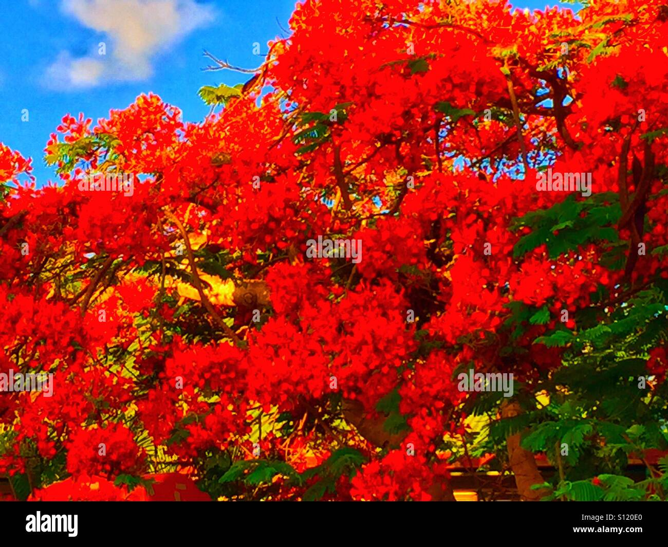 Poinciana tree in bloom - Stock Image