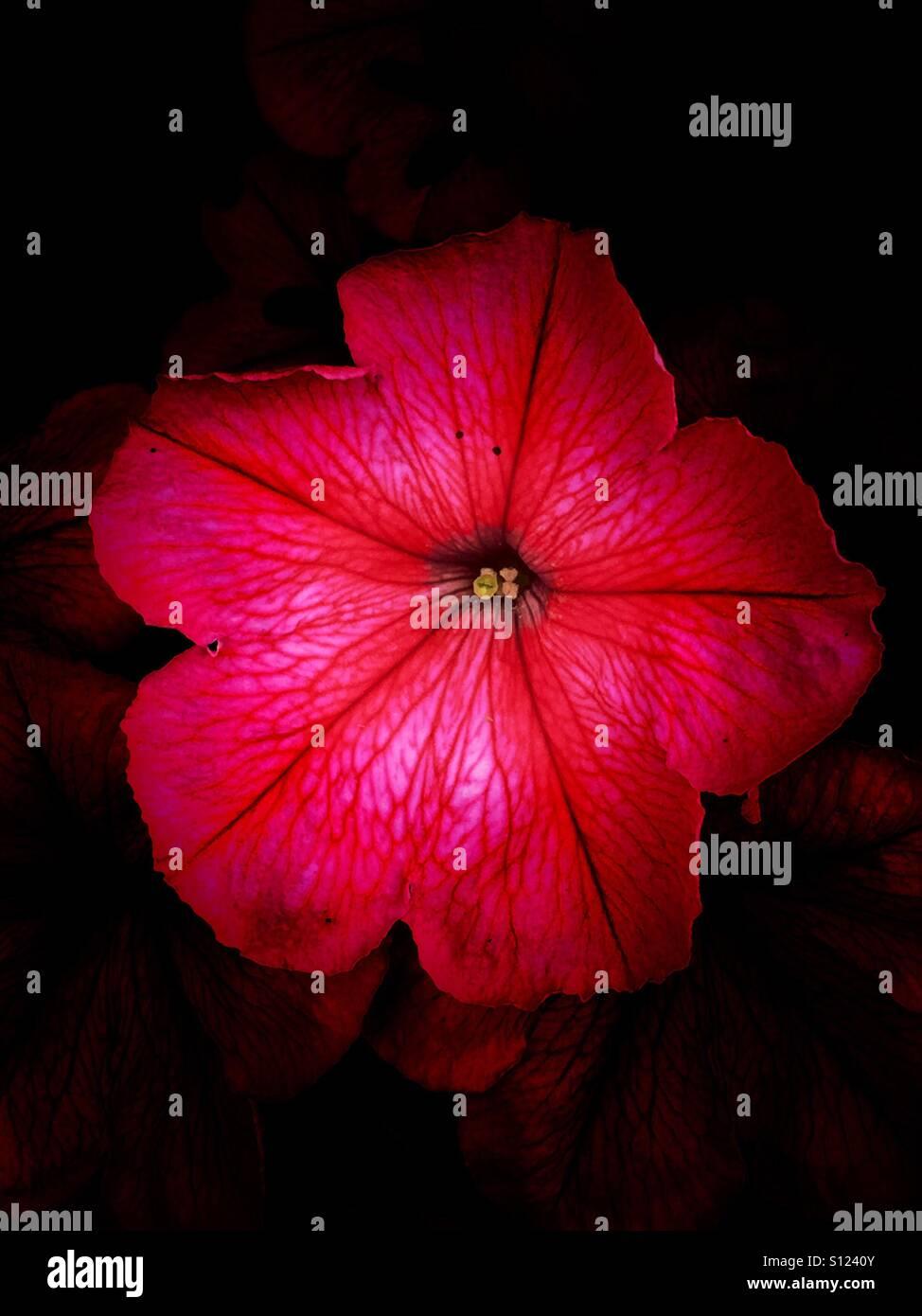Pink petunia - Stock Image