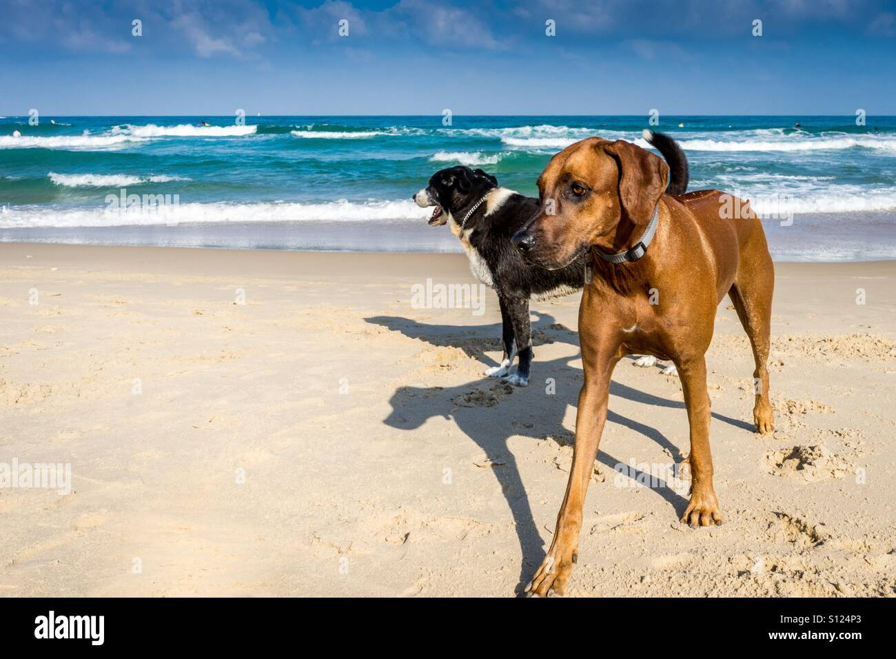 Tow Dogs at the beach. - Stock Image