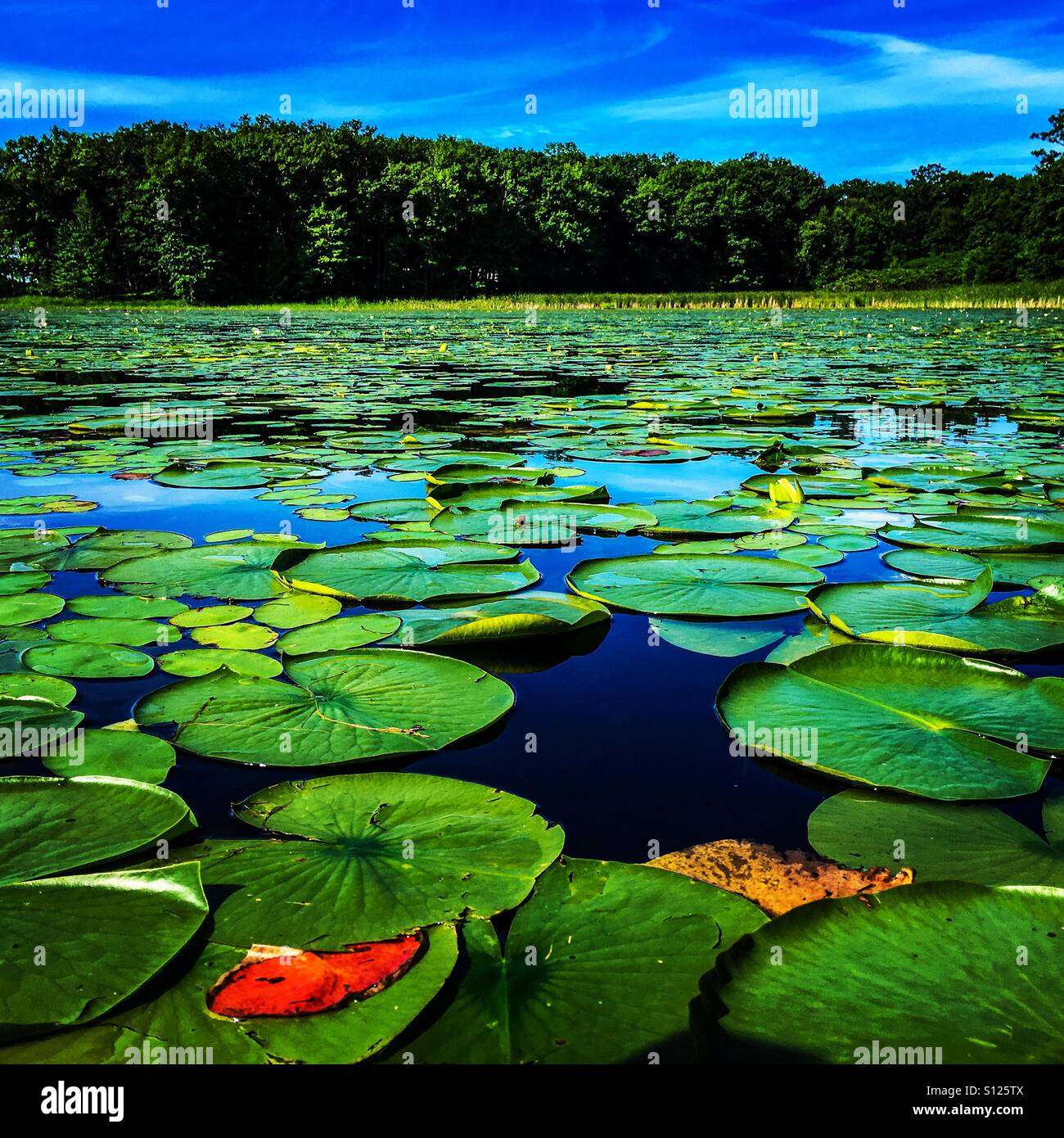 Lilli pads on a lake in Minnesota - Stock Image