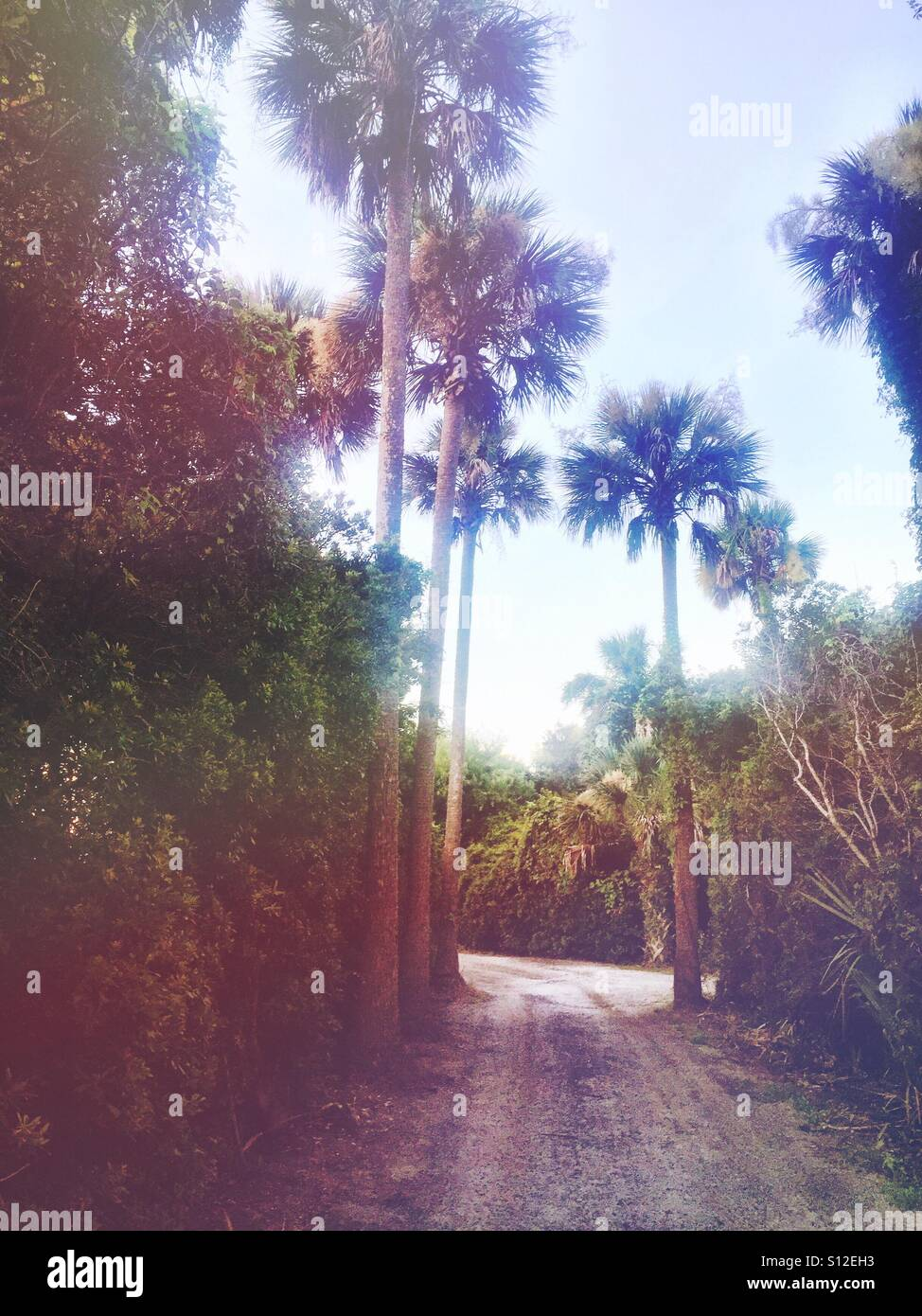 A path through some palmetto trees in the Lowcountry of South Carolina. - Stock Image