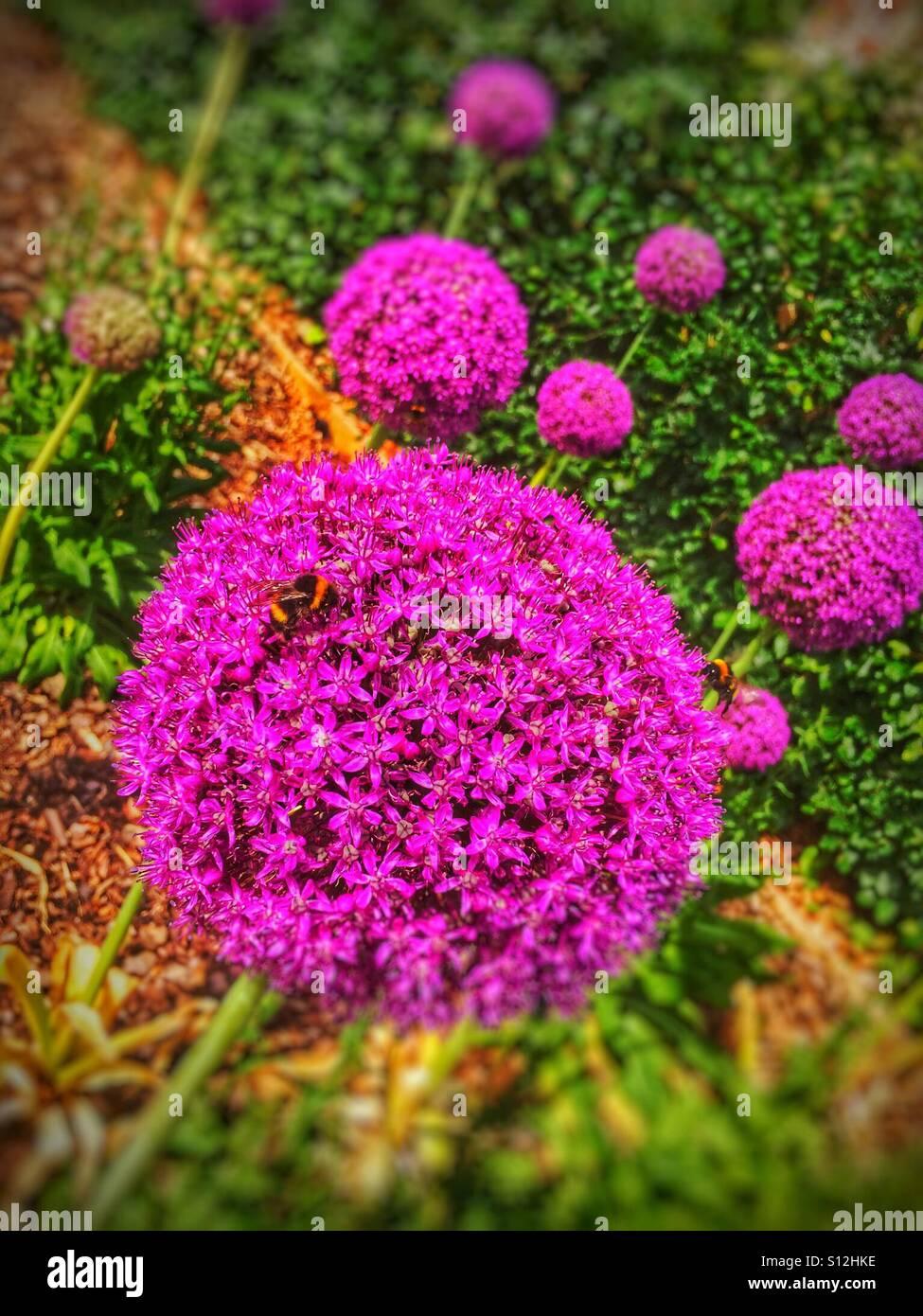 Pink allium flowers stock photo 310459058 alamy pink allium flowers mightylinksfo