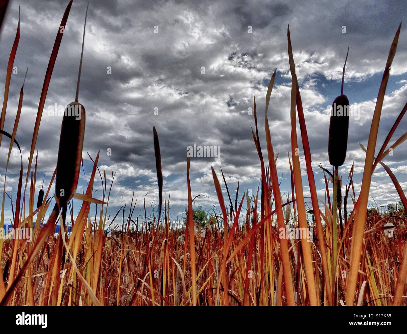 Cattails are seen against a beautiful cloudy blue sky background. - Stock Image
