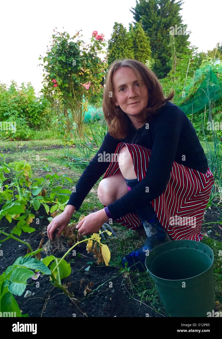 Red haired 40 year old woman gardening in an allotment - Stock Image