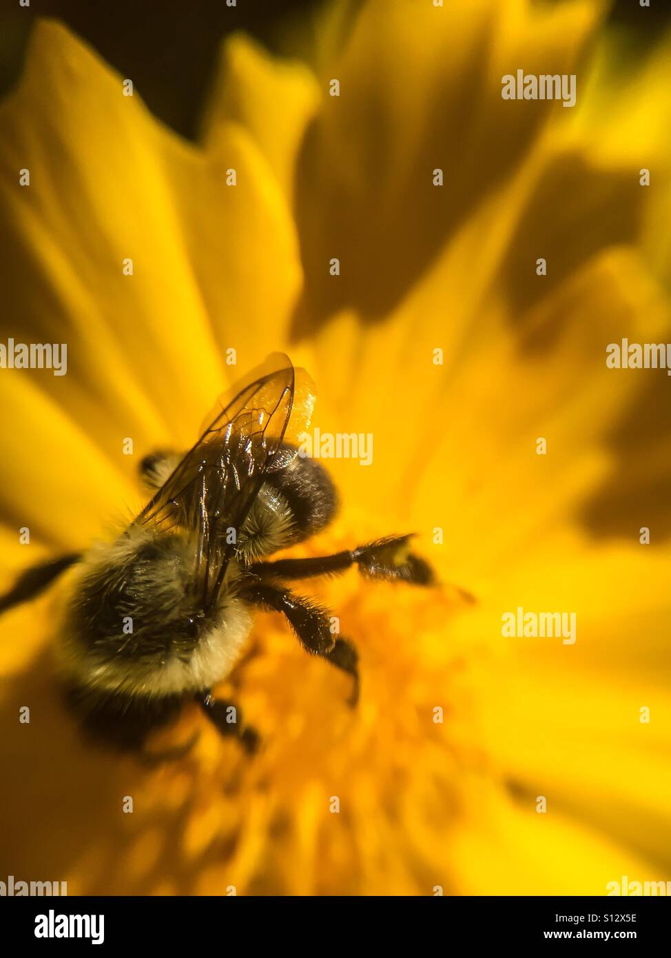Bee in a yellow flower - Stock Image