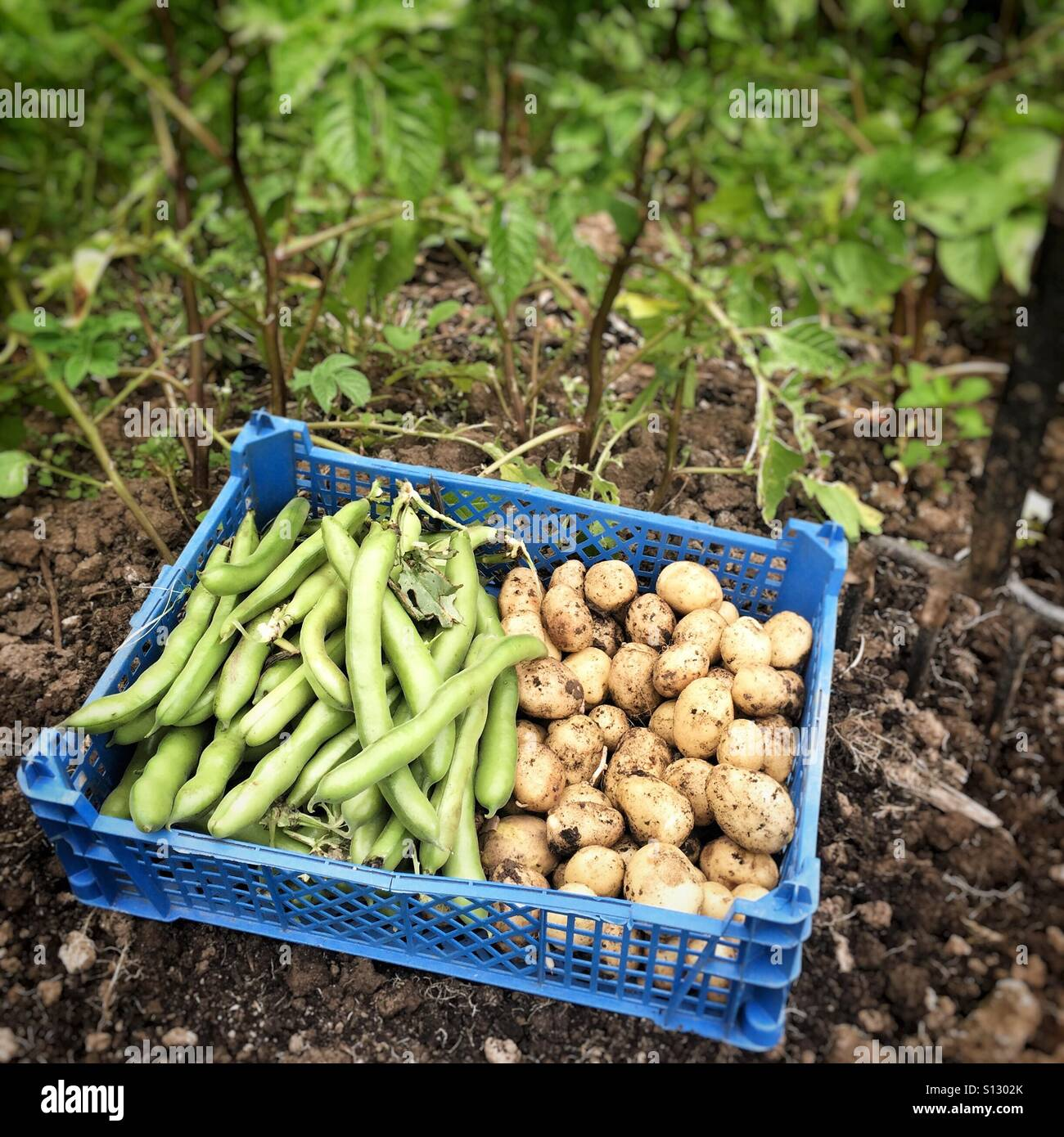 Broad beans and potatoes harvested on allotment Stock Photo