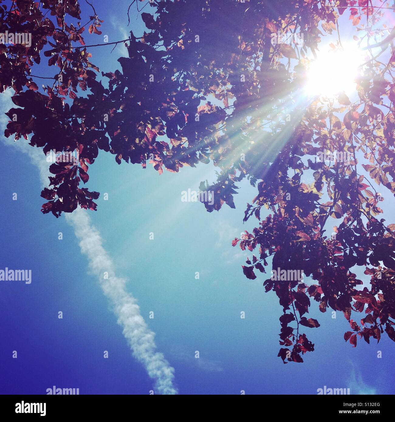 Sun shining through the leaves of a tree.  Blue sky with vapour trail. - Stock Image