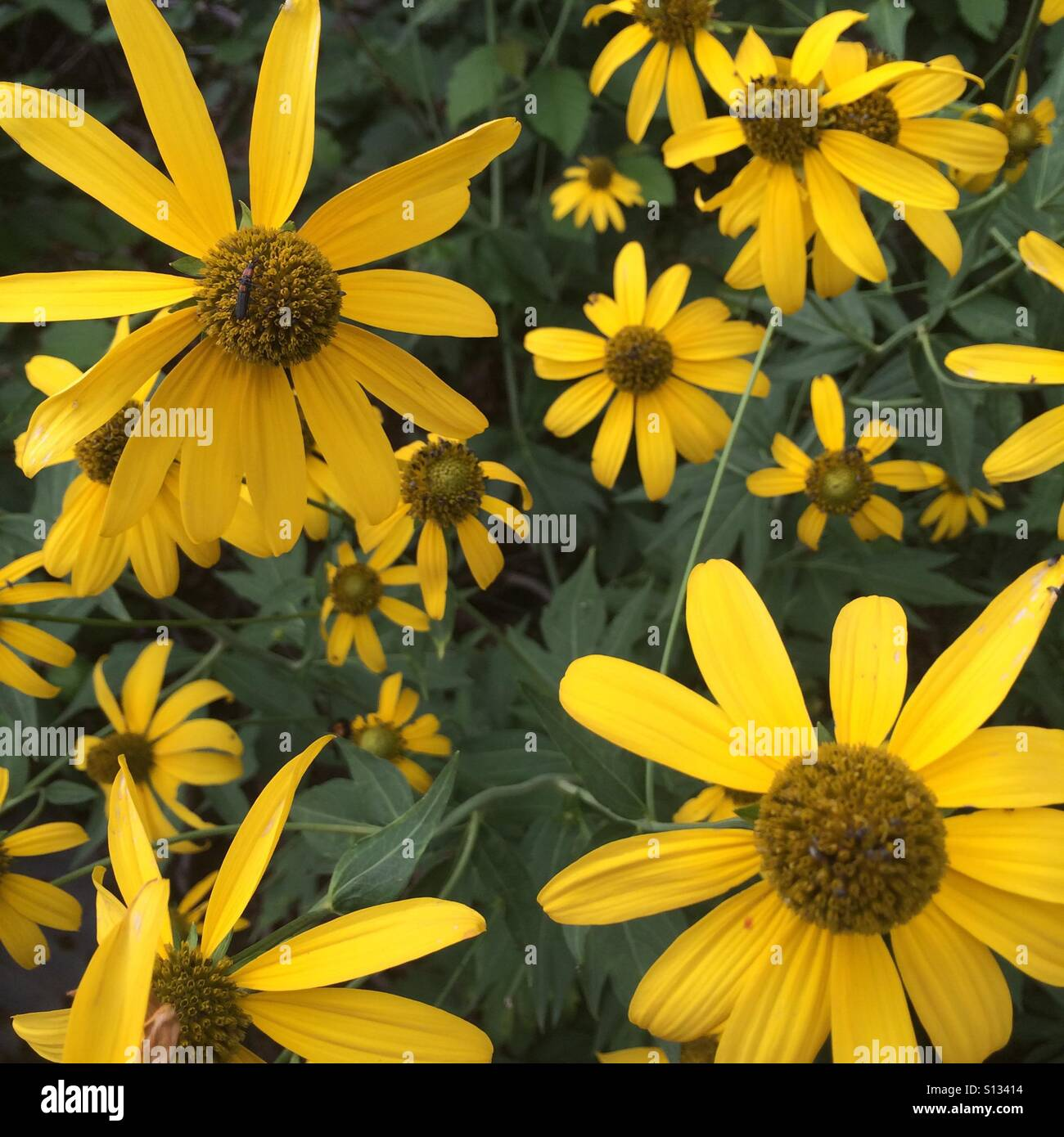A group of wildflowers on the forest floor. The wildflowers are called Cutleaf Coneflowers. They are also known - Stock Image