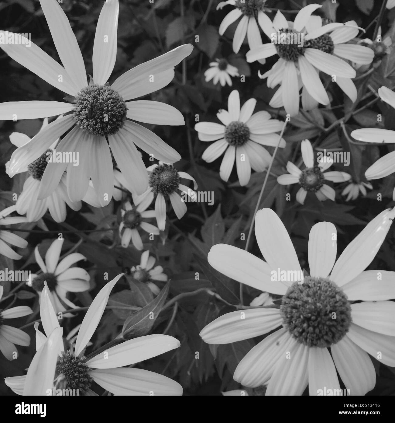Wildflowers upon the forest floor. The name of the wildflowers is Cutleaf Coneflower. They are also known as Green - Stock Image