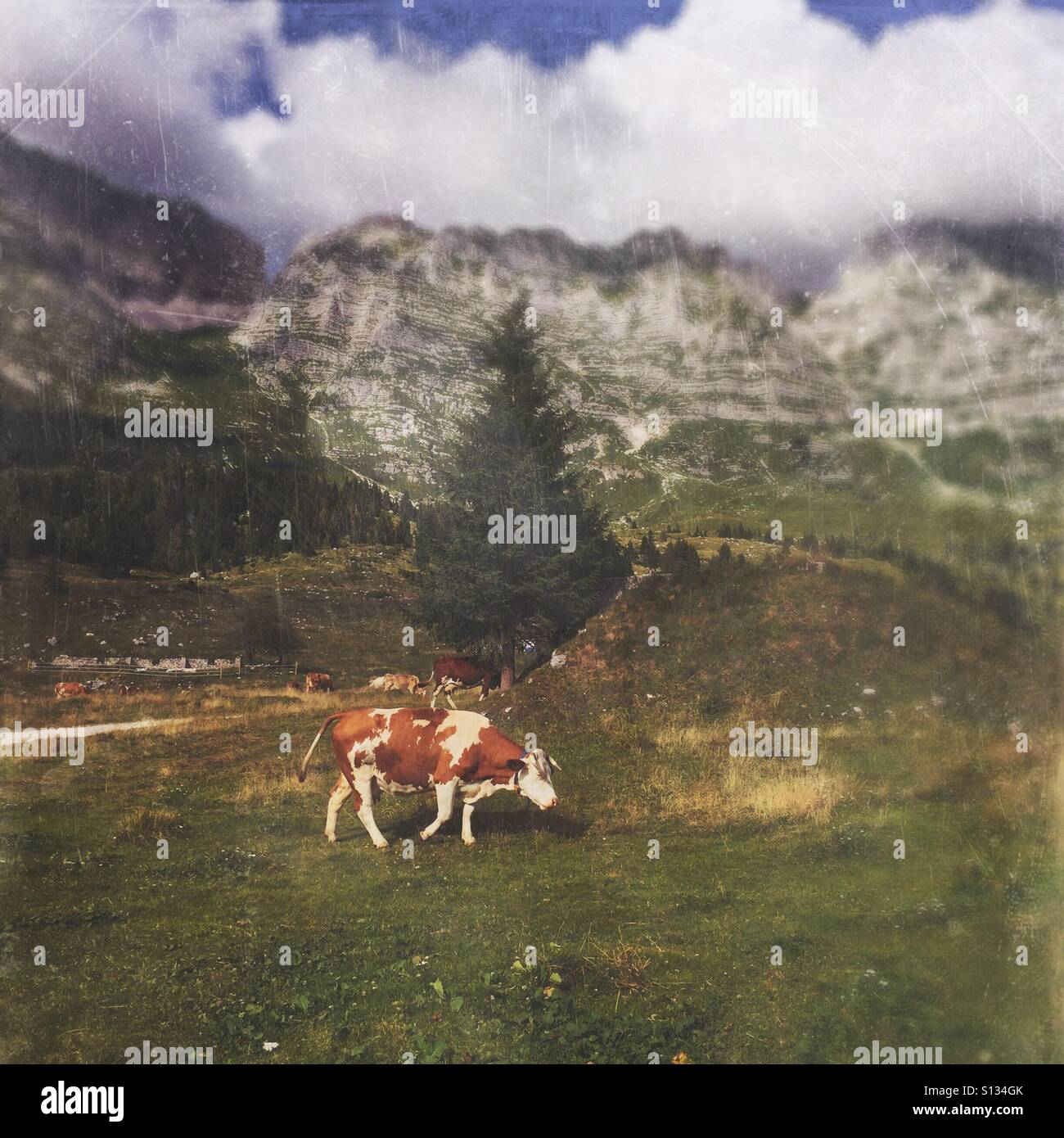 Cows on a meadow with mountains in the background (Pecol meadow, Julian Alps, Italy) - Stock Image
