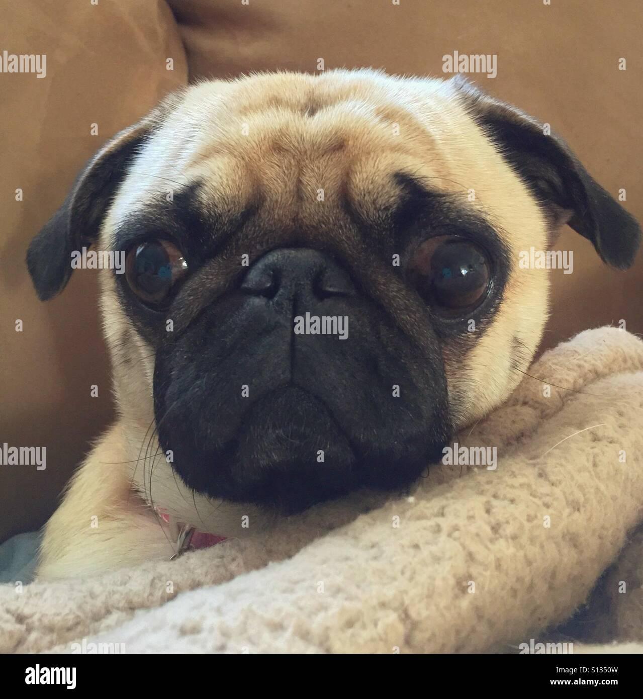 Pug puppy with sad eyes - Stock Image