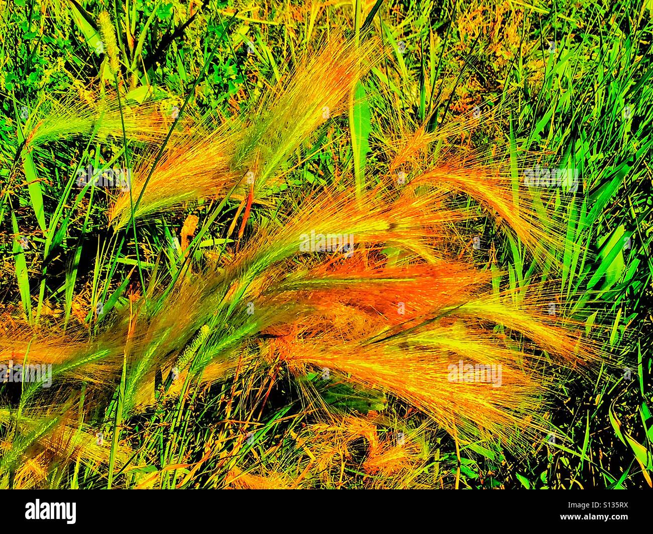 Fox tail spikelet cluster of grass.  A type of diaspora - Stock Image
