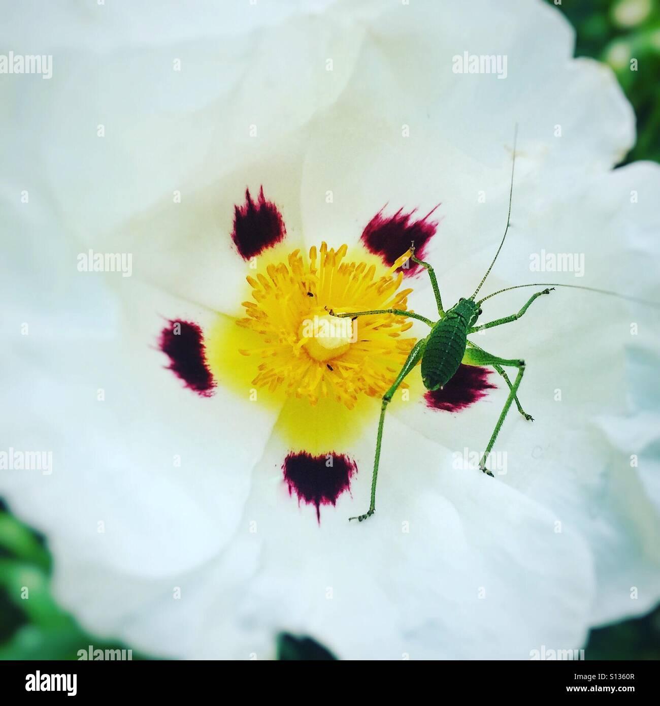 Grasshopper resting inside Rock Rose Stock Photo