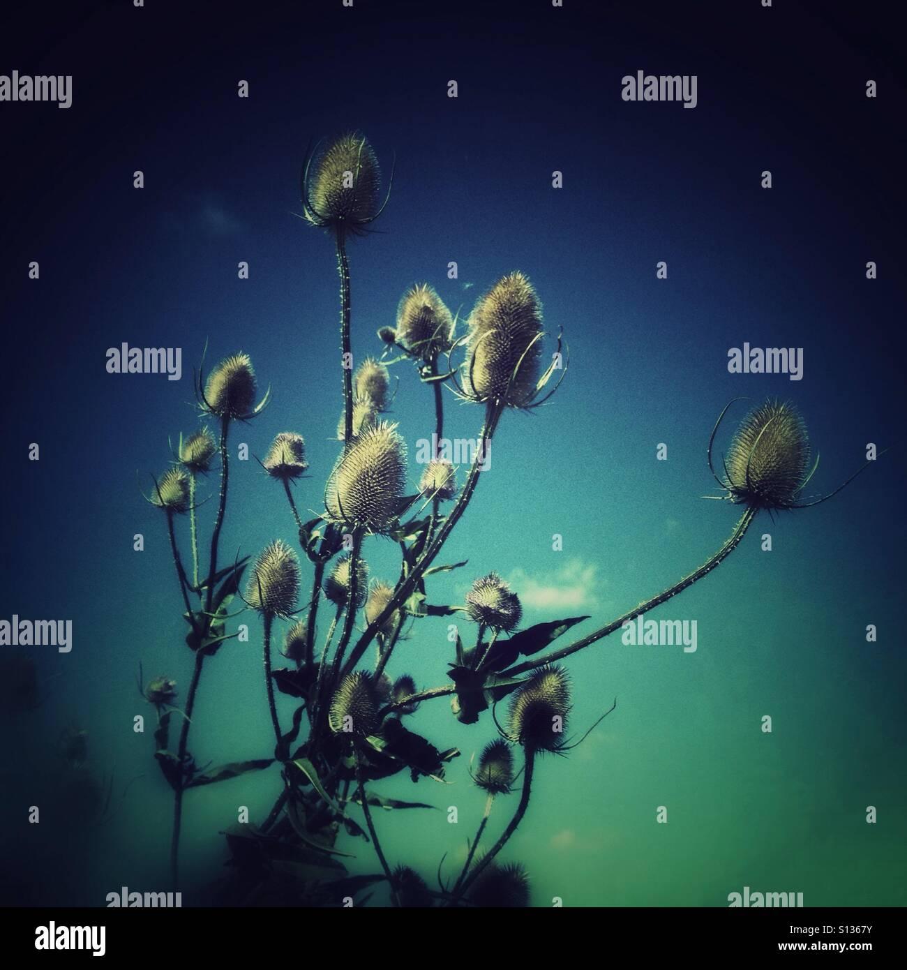 Teasal flowers - Stock Image