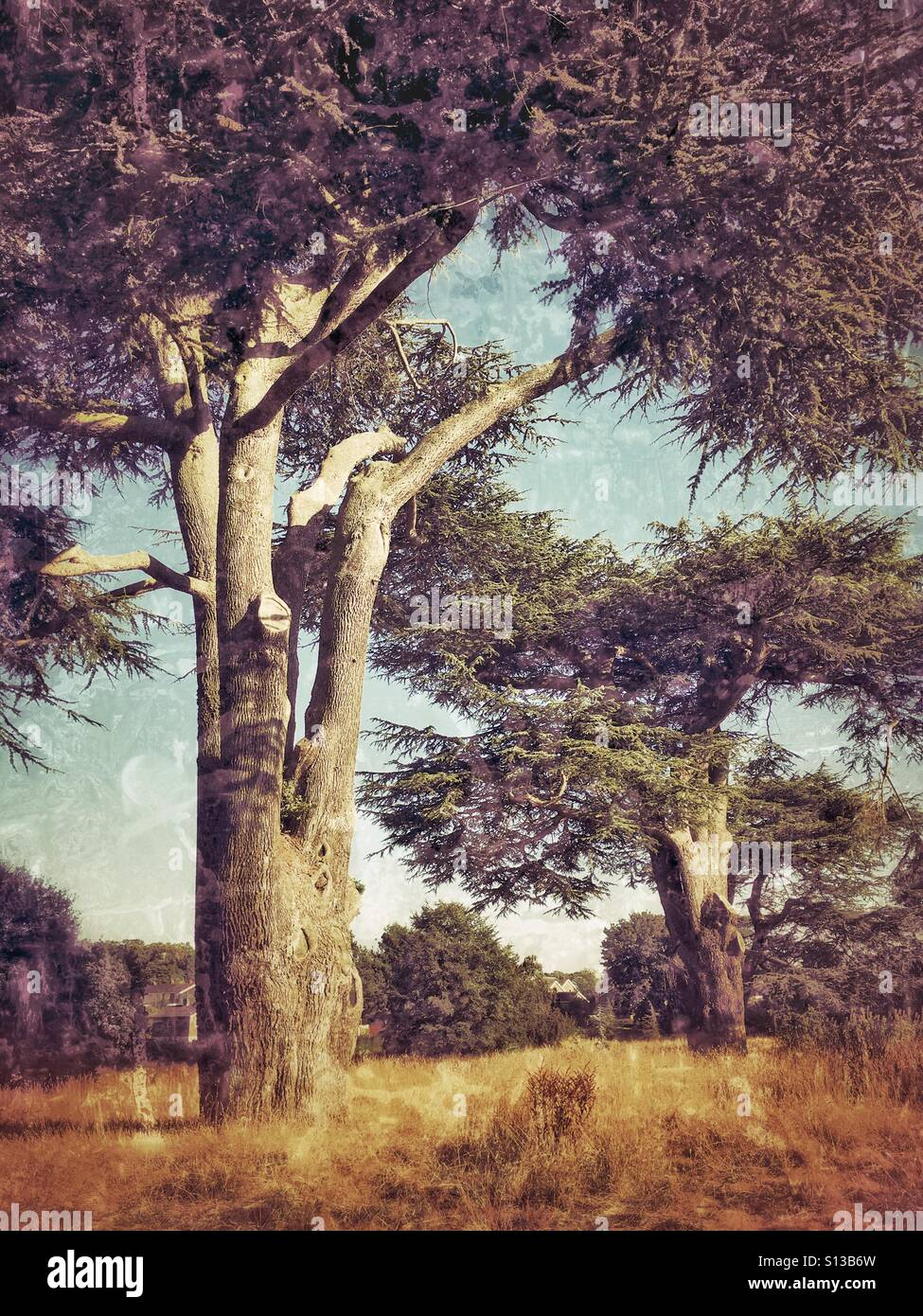 Large trees in an area of woodland in England, grunge filter with muted tones - Stock Image