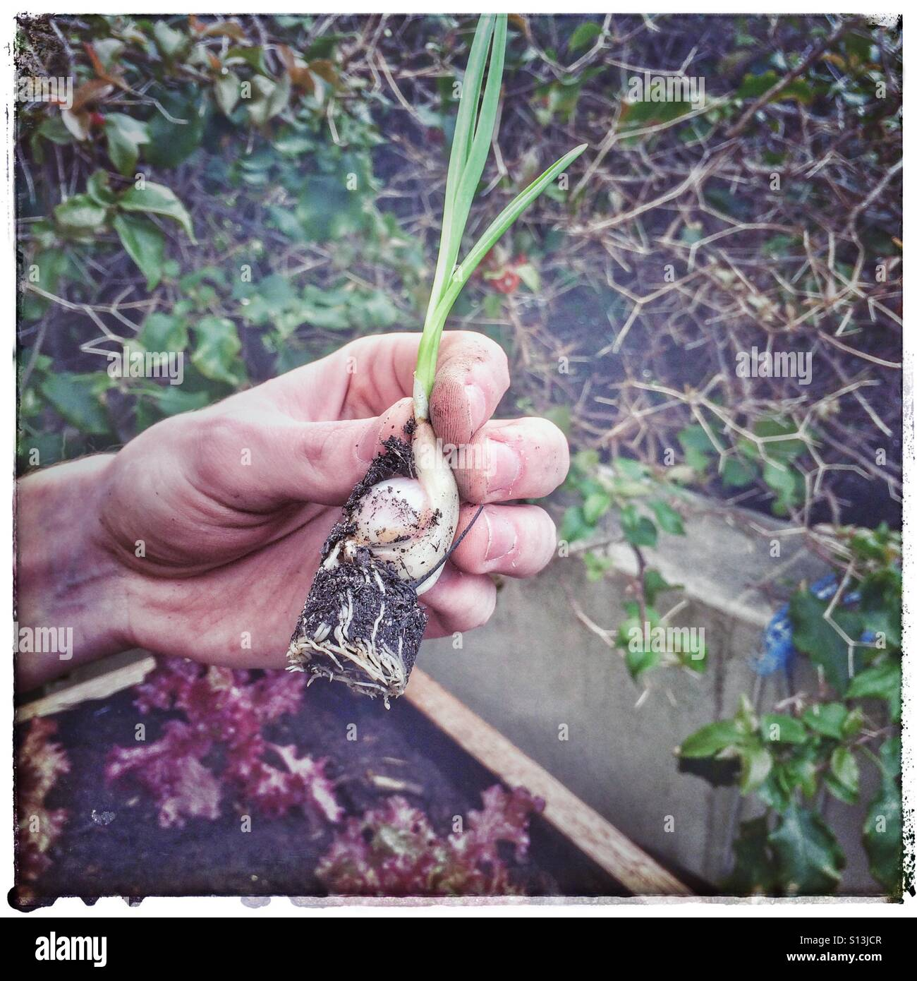 Garlic plant. - Stock Image