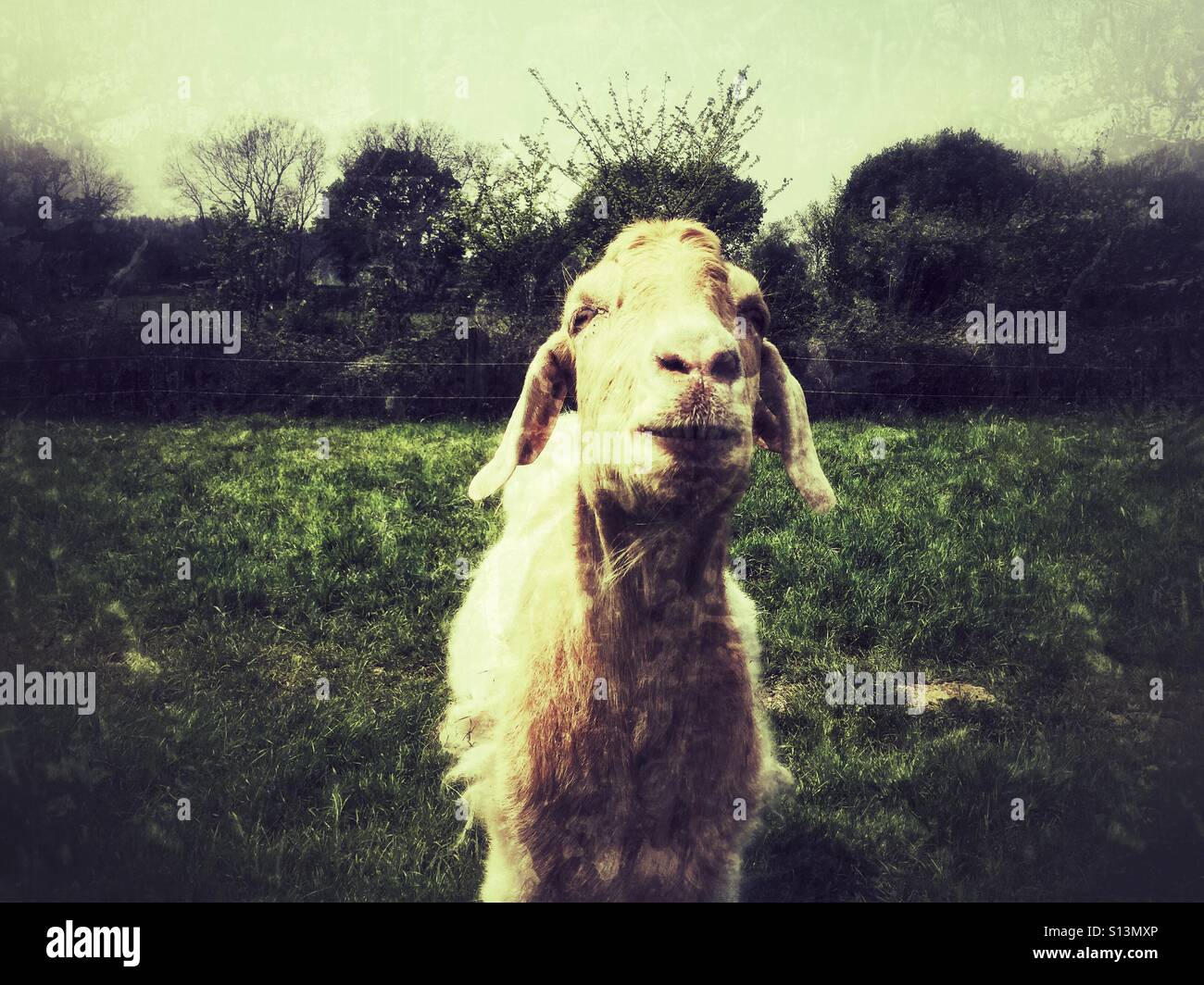 Grunge Camera Effect : A goat looking at the camera with a grunge effect filter stock