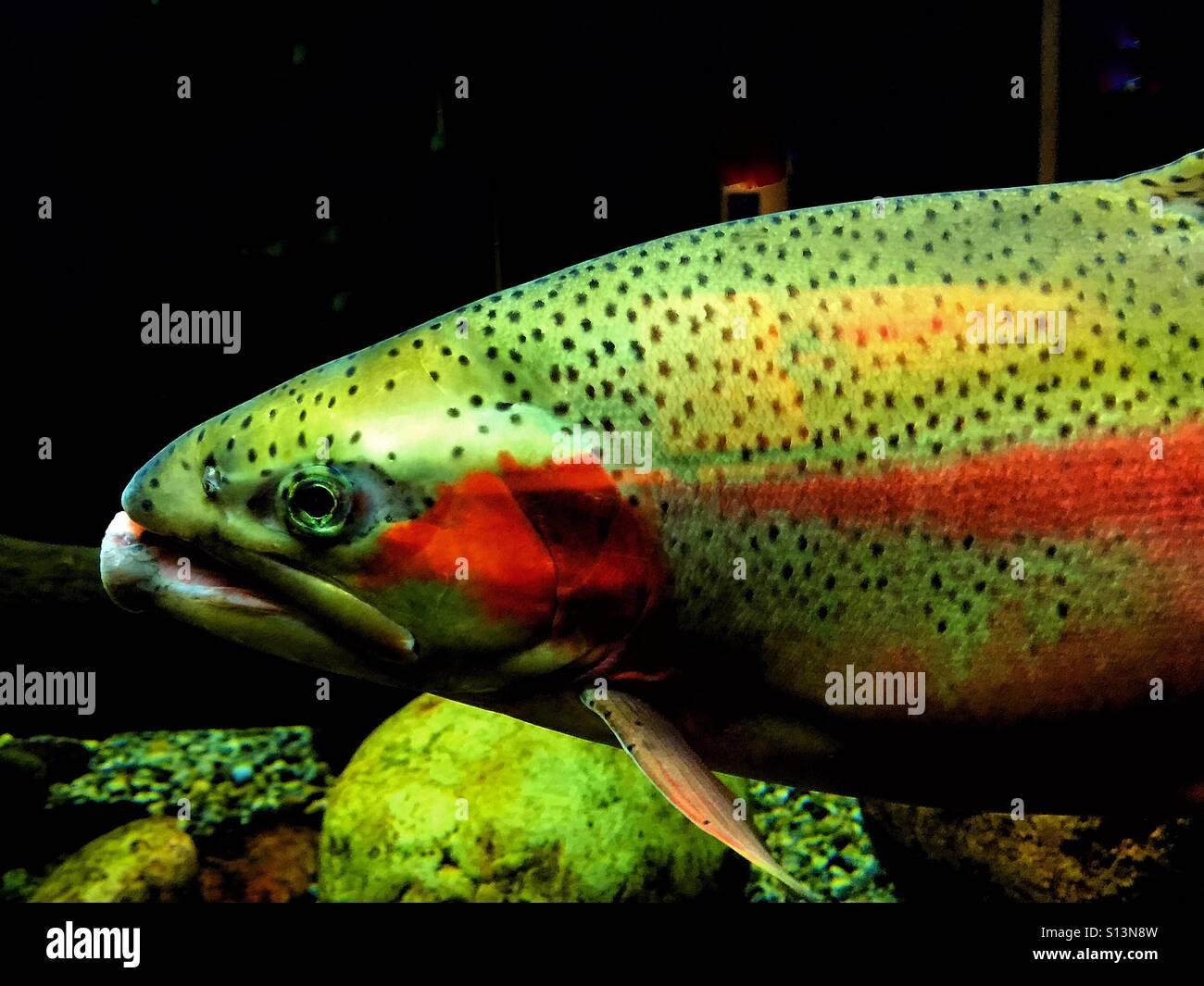 Rain bow trout in an aquarium - Stock Image
