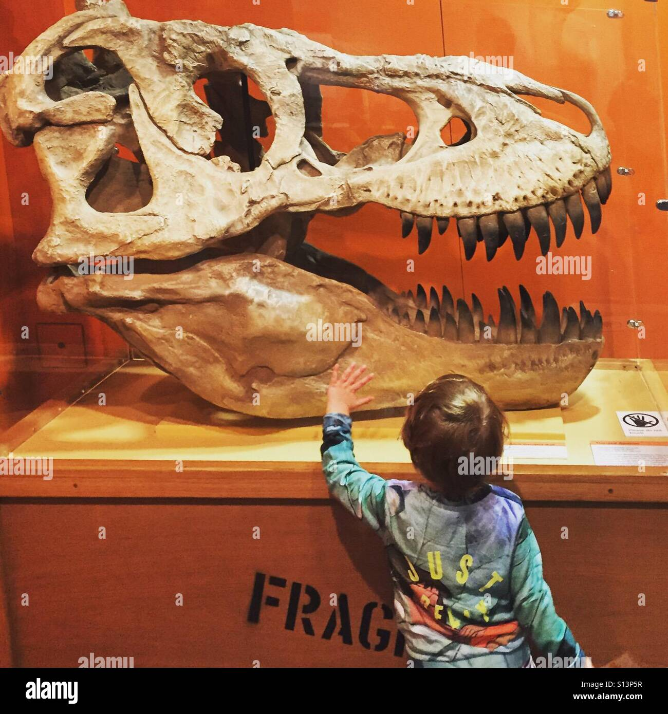 A young boy is fascinated with the large fossil skull of a dinosaur in a museum - Stock Image