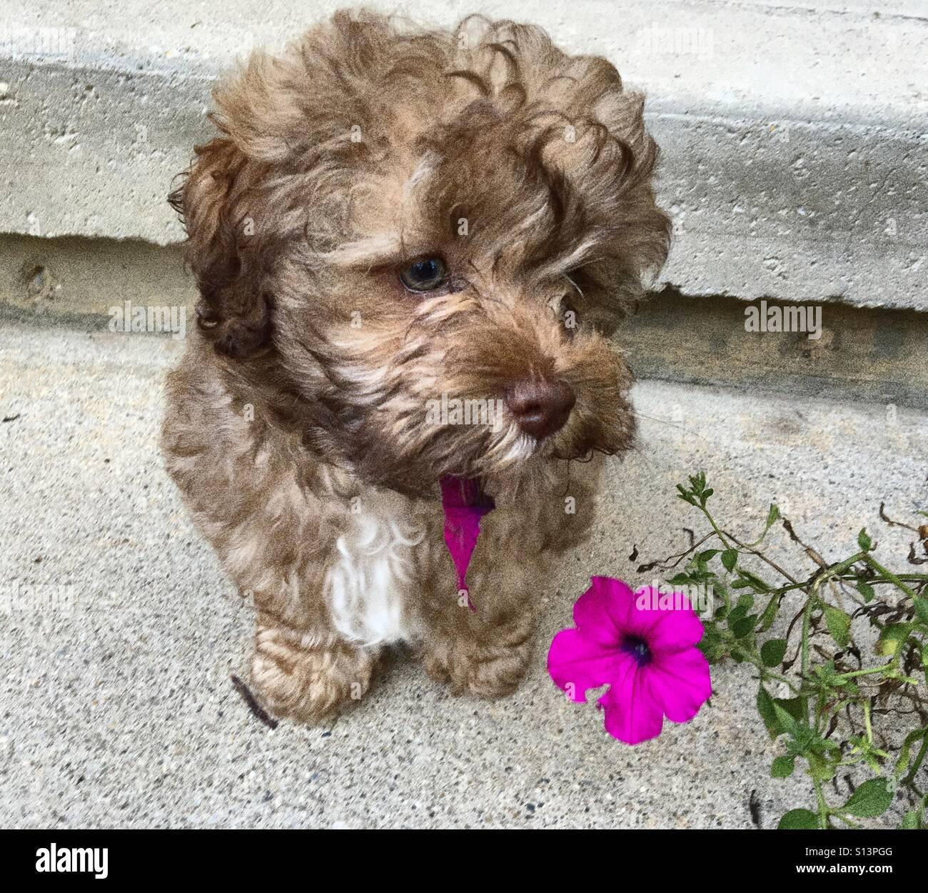 Shih Tzu Mix Puppy Stock Photo 310484848 Alamy