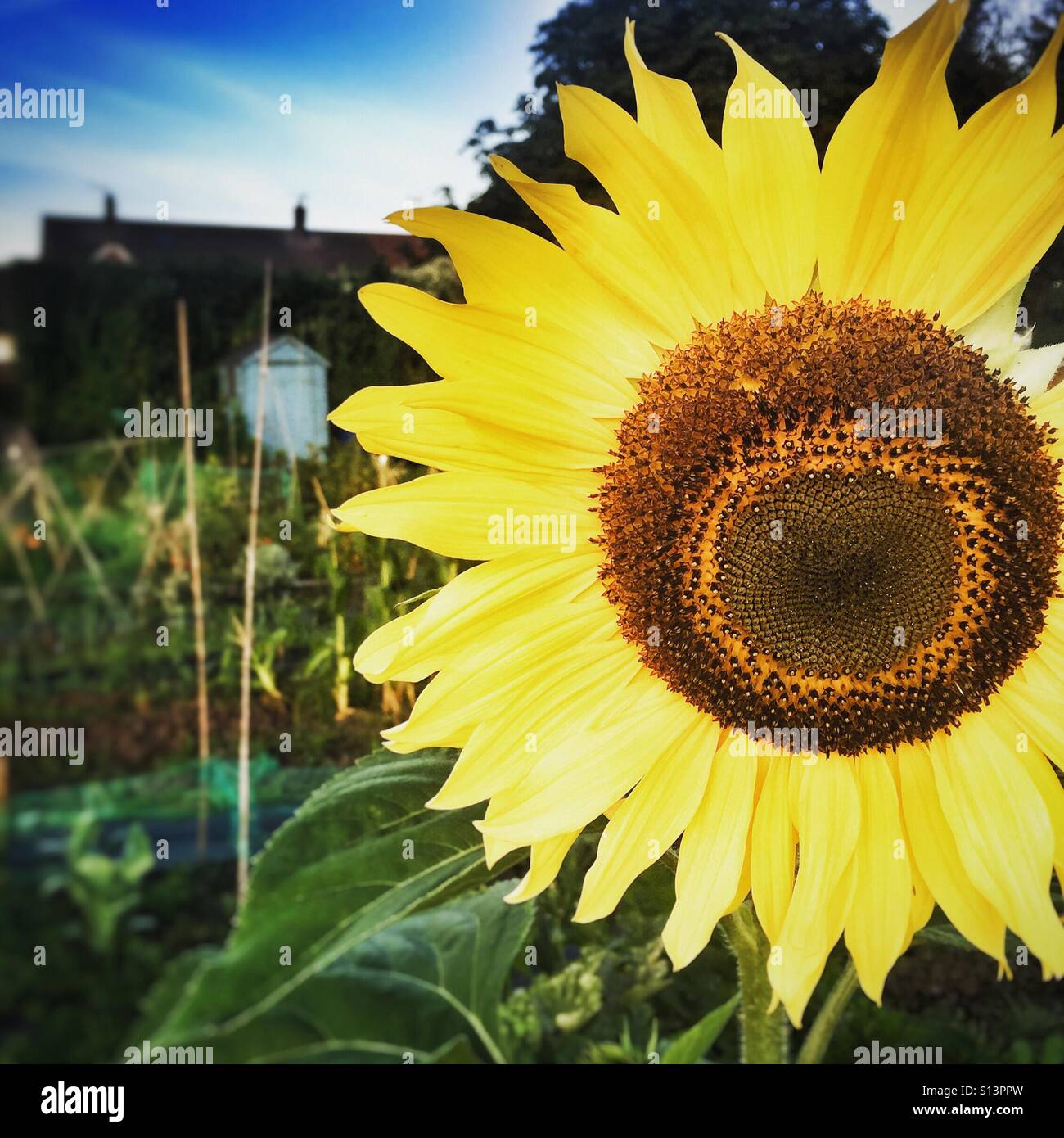 Large sunflower on allotment in Bristol Stock Photo
