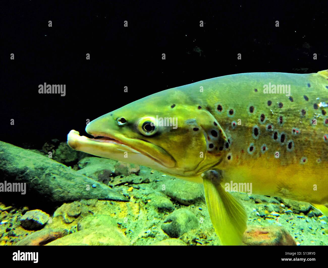 Brown trout with protruding lower jaw - Stock Image