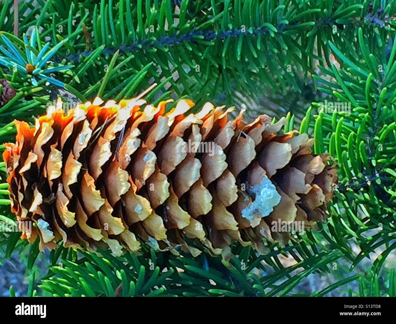 Acorn on an evergreen tree - Stock Image