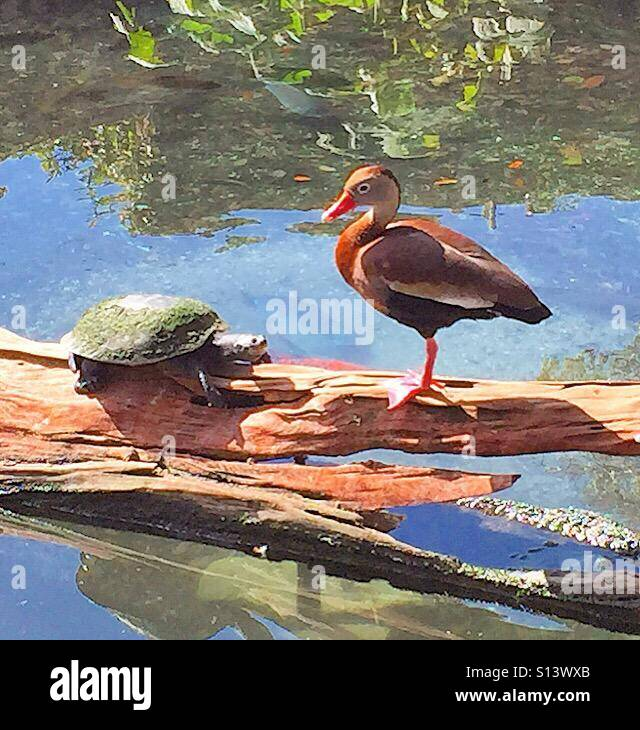 Chance meeting. A duck and turtle have a face off on a log in a pond. - Stock Image