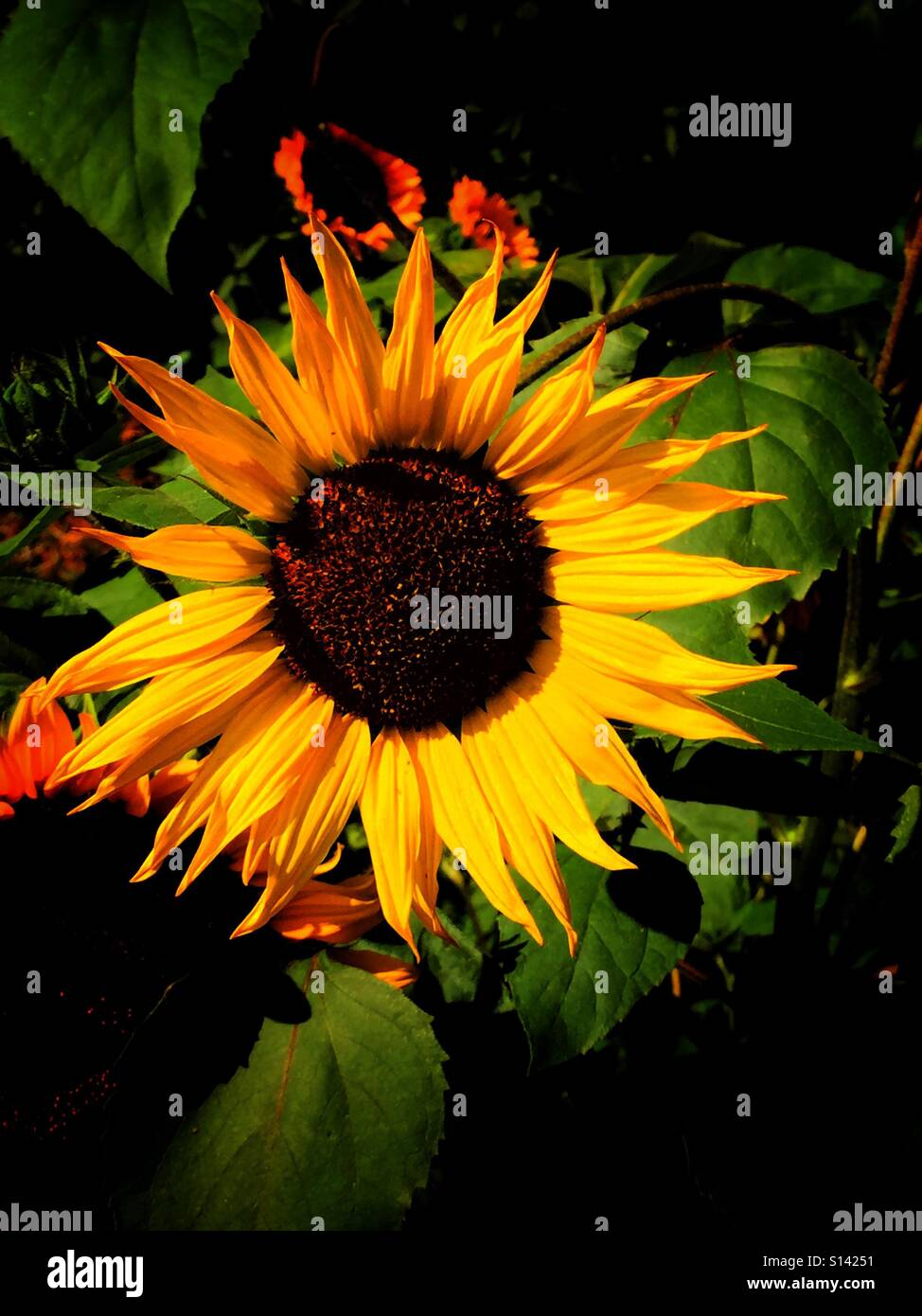 Sunflower patch - Stock Image