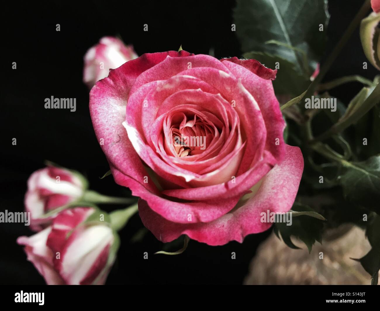 Pink And White Roses With A Black Background Stock Photo 310491968