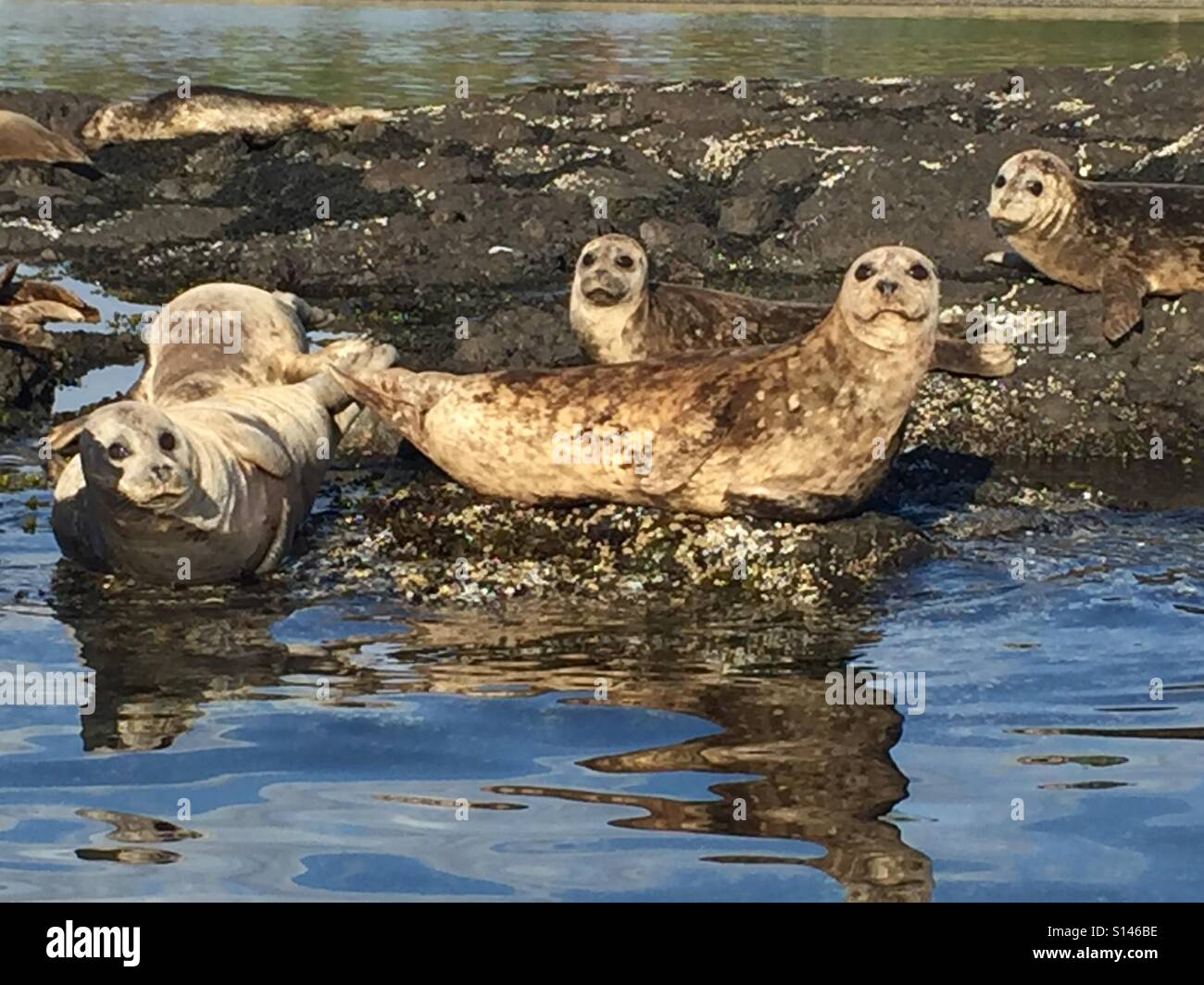 Hello there, Basking Seals, curiosity - Stock Image
