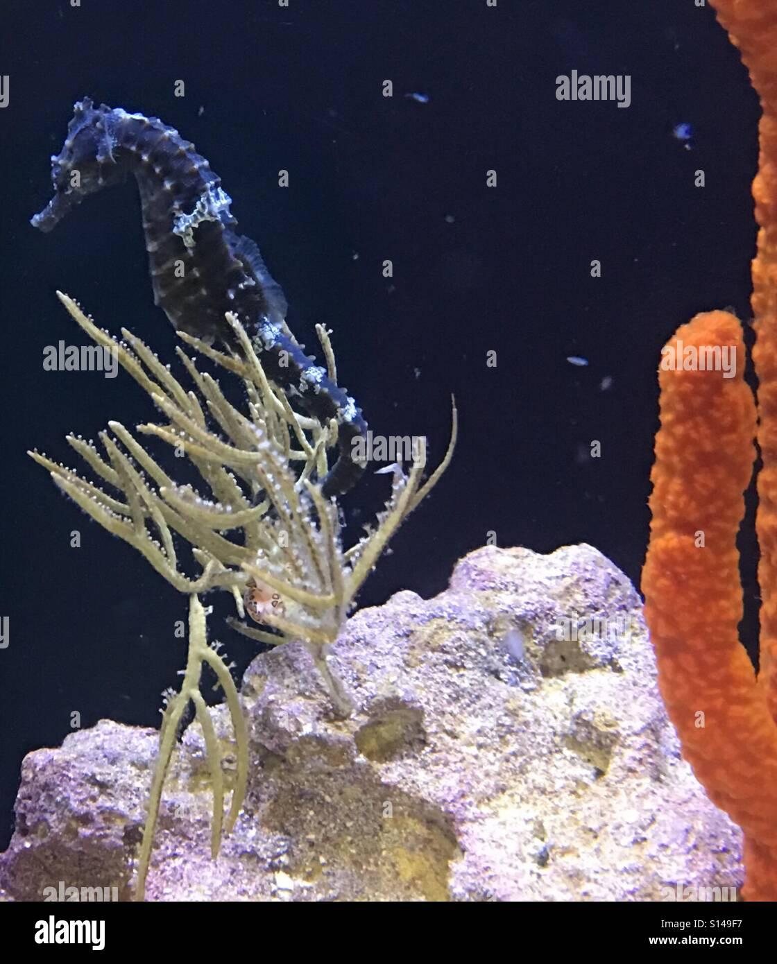 Seahorse - Stock Image