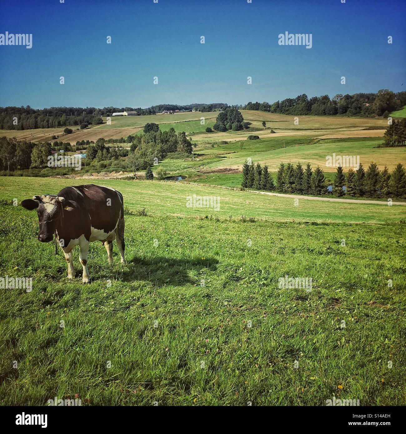 Cow on pastureland. Kashubia region in Poland - Stock Image