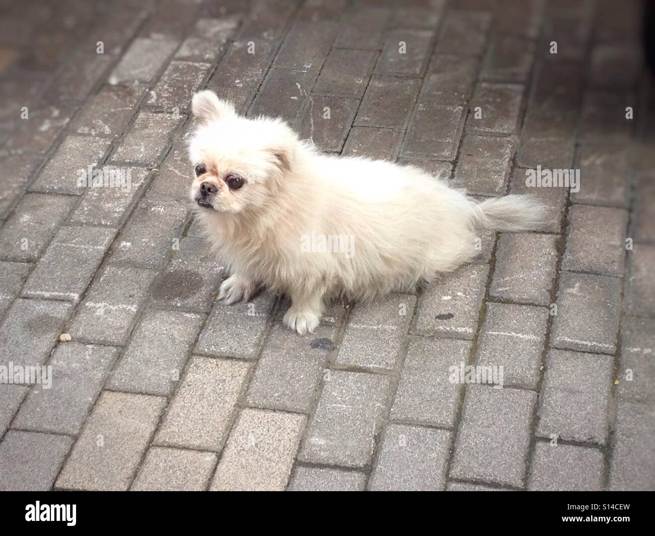 Cute, White Fluffy Puppy Dog Relaxing & Chilling Out On The Sidewalk Pavement, Kawaii Pets - Stock Image